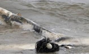 baleia-boto